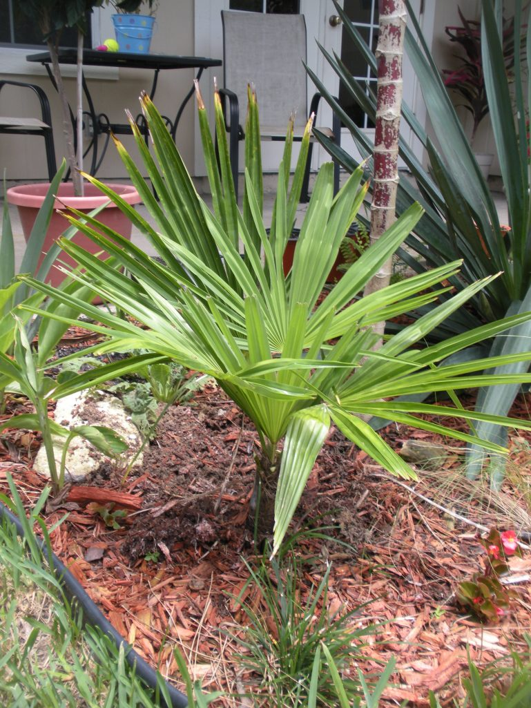 Trachycarpus fortunei-Windmill Palm
